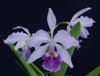 Cattleya warscewiczii coerulea 'Angarita' x self