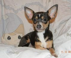 Check out Blue Ivy's profile on AllPaws.com and help her get adopted! Blue Ivy is an adorable Dog that needs a new home. https://www.allpaws.com/adopt-a-dog/chihuahua/1837879?social_ref=pinterest