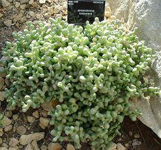 Planta suculenta – Wikipédia, a enciclopédia livre
