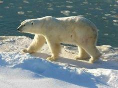 Oso polar caminando sobre el hielo