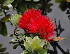 Lehua blossom, native to the Hawaiian Islands and sacred to the Goddesses of Hula Exotic Flowers, Real Flowers, Tropical Flowers, Beautiful Flowers, Hawaiian Plants, Hawaiian Flowers, Hawaiian Goddess, Hawaiian Mythology, All About Hawaii