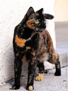 Tortoise shell cats .. of cats in Singapore