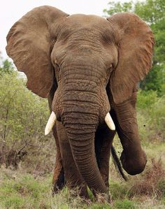 Young bull African elephant in S. Africa's Kruger National Park.  Click for more info and photo stream // animalrescueblog