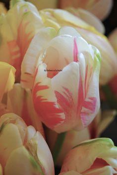 tulips- gorgeous