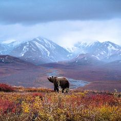 """Photo: @chrisburkard  In my opinion, the fall colors really speak to the uniqueness of Denali National Park. It was 9:30pm and pouring rain outside. We…"""
