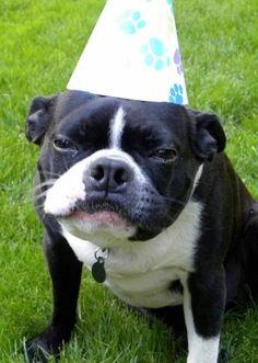 Oscar, the Boston Terrier