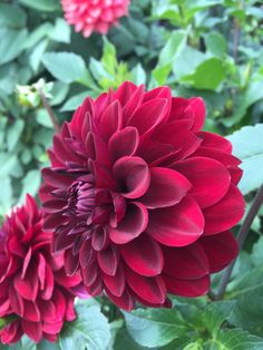 """Dahlia """"Con Amore"""". I love the depth of colour in this dahlia, and it actually sparkles with a glittery sheen."""