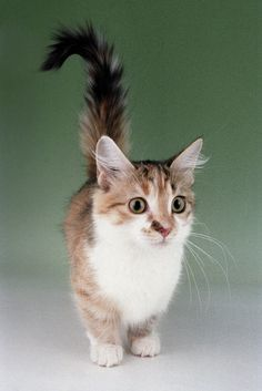 new breed or color status munchkin breed group standard tica - #smallcat- See more stunning Tea Cup Cat Breeds at Catsincare.com!
