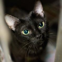 STATUS UNKNOWN - Precious - URGENT - Dekalb County Animal Shelter in Decatur, Georgia - ADOPT OR FOSTER - 3 year old Spayed Female Domestic Shorthair Mix