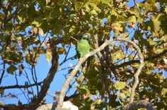 SIGHTING MUSTACHED / MOUSTACHED PARAKEET: 09/09/2016 - Redwood City, California, CA, United States. Ref#: V26665 - #ParrotAlert #ParrotSighting #BirdSighting #MustachedMoustachedParakeetSighting