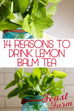 Lemon balm benefits the body in amazing ways when taken properly. Read on for more plus my delicious lemon balm tea recipe. Lemon Balm Recipes, Lemon Balm Uses, Herb Recipes, Herbal Tea Benefits, Lemon Health Benefits, Herbal Teas, Lemon Balm Tea Benefits, Healing Herbs, Medicinal Herbs