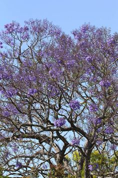 The beautiful purple flower blooms of the Jacaranda in Brisbane Springtime by Lilibet Stanley