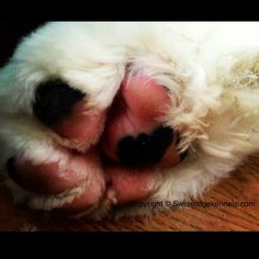 Lovable bernedoodle paw!