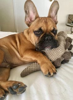 The major breeds of bulldogs are English bulldog, American bulldog, and French bulldog. The bulldog has a broad shoulder which matches with the head. French Bulldog Facts, French Bulldog Blue, French Bulldog Puppies, Mini French Bulldogs, English Bulldogs, Cute Puppies, Cute Dogs, Dogs And Puppies, Doggies