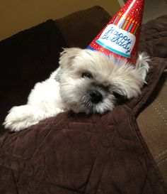All party out Shih Tzu