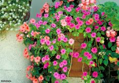 Busy Lizzie (Impatiens walleriana) Flowers that do well in SF
