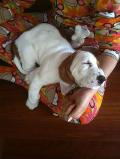 Basset Puppies, Hound Puppies, Basset Hound Puppy, Beagles, Puppies And Kitties, Doggies, Crazy Animals, Cute Animals, Loyal Dogs