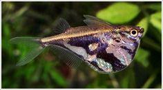 Marbled Hatchetfish (Carnegiella Strigata)