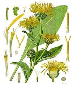 """#Echter_Alant (Inula helenium) """"Echter Alant (Inula helenium) ist eine Pflanze aus der Familie der Korbblütler (Asteraceae). Sie wird bereits seit der Antike als Heil- und Gewürzpflanze verwendet."""""""