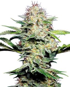 With sativa genes, White Diesel Haze Automatic by White Label ensures a cerebral energy boost. Seeds Online, Seed Bank, Weed, Herbs, Plants, Diesel, Label, Board, Ganja