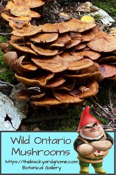 Spotted on the Bruce Peninsula, here is yet another beautiful wild Ontario mushroom! Different Plants, Ontario, Stuffed Mushrooms, Backyard, Vegetables, Gallery, Green, Beautiful, Stuff Mushrooms