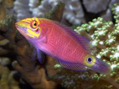 Clown Fairy Wrasse | ... , Whitebarred Wrasse, White-barred Pink Wrasse, White Banded Wrasse