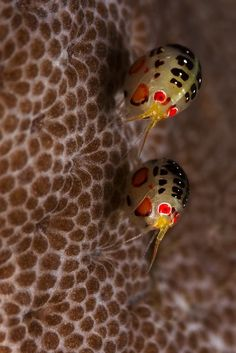 National Geographic - Ladybugs Amphipods-cyproideidae. The size of these ladybugs are 1/4 of a rice grain. To get two in focus was a challenge because they keep moving and they are super tiny. Photo and caption by Fransisca Harlijanto