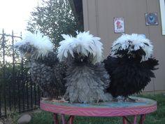 Wc cuckoo wc black wc blue bantam Polish chickens. @simonpickles #chickens