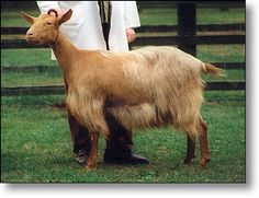 *STUDY* Golden Guernsey. They are smaller and more fine-boned than other British milking goats, and there is great variety in coat length.