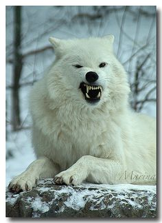 Grrrrrrrrrrrrr!!!!!!!!!!!!!!!! I Don't like Mondays!! Arctic Wolf | Flickr - Photo Sharing!