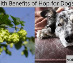 Dog Yeast Infection - 4 Steps to Natural Elimination Yeast In Dogs, Dog Passed Away, Urinary Incontinence, Physical Pain, Separation Anxiety, How To Make Beer, Old Dogs, Wellness