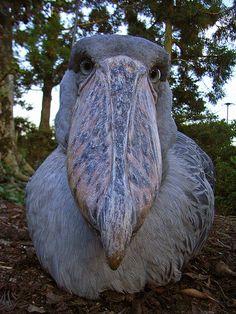 Shoebill bird pictures ideas - scary birds