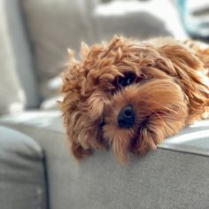 Fun Cavalier King Charles Spaniel Exercise Needs Cavapoo Puppies, Goldendoodle, Cute Puppies, Cute Dogs, King Charles Spaniel, Cavalier King Charles, Puppy Images, The Perfect Dog, Poodle Mix