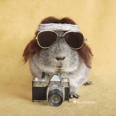 Large Animals, Cute Animals, Baby Guinea Pigs, Funny Hats, Capybara, Cute Piggies, Cute Hamsters, Travel Alone, Funny Pictures