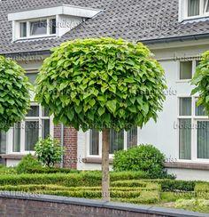 Image result for trompetenbaum catalpa