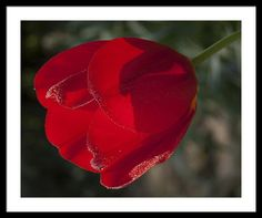 Tranquility Framed Print featuring the photograph Red Tulip In The Sun by Janis Kirstein