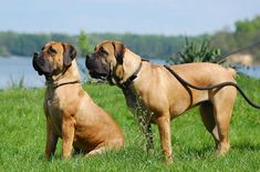 """A strong and impressive dog, the Boerboel is protective and loyal to his family. Those in his """"pack"""" can expect this brave dog to lay down his life for them, if the need arises. A vigilant and mighty breed, the Boerboel can be an awesome guard or watchdog as well as a trusted and loving [...]"""