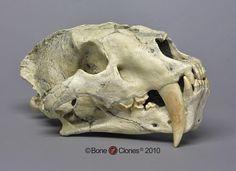 Sabertooth Cat, Chinese Machairodus giganteus Skull - Bone Clones, Inc. - Osteological Reproductions
