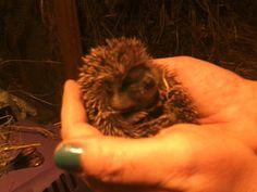 sweet hedgehog baby