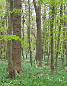 From the small wood behind my house - old beeches and anemones