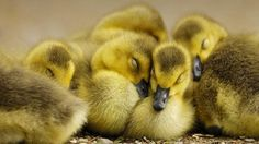 There are all kinds of cute baby animals in this world, but baby ducks are without a doubt one of the most overlooked cuties we've ever seen. Give them the respect they deserve by checking out the most precious photos of our favorite baby animal! Duck Wallpaper, Animal Wallpaper, Cute Baby Animals, Funny Animals, Barn Animals, Animal Babies, Cute Ducklings, Baby Ducks, Funny Animal Pictures
