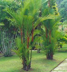 Cyrtostachys Renda  - 10 Fresh Seeds -  Red Sealing Wax Palm or Lipstick Palm
