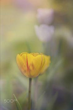 Mr Tulip - null