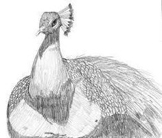Image result for peacock drawings