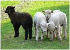 black sheep or mormon misfit Black Sheep Of The Family, Baa Baa Black Sheep, Sheep And Lamb, Counting Sheep, Negative People, Misfits, Flocking, Farm Animals, Beautiful Creatures