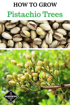 Learn the correct growing conditions for Pistachio Trees and see if you can grow your own pistachios in your climate. Learn the correct growing conditions for Pistachio Trees and see if you can grow your own pistachios in your climate. Growing Fruit Trees, Growing Tree, Growing Plants, Growing Vegetables, Dwarf Fruit Trees, Fruit Plants, Home Vegetable Garden, Fruit Garden, Edible Garden