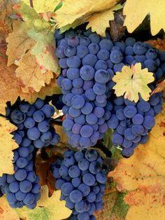 Грозди винограда в сентябре. Северная Калифорния…