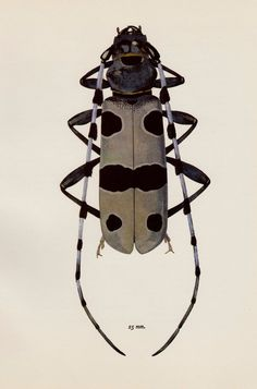Vintage BEETLE Print BLUE ROSALIA Beetle Art Gallery Wall Art Insect Print 517