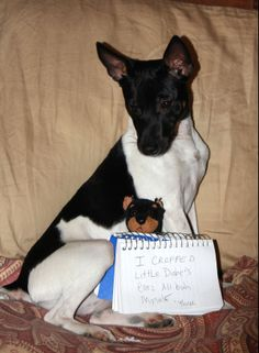 Facebook fan Carmeta says: My husband got me a Doberman beanie baby and my Rat Terrier, Three ate it's ears off. So now it has cropped ears. #UnShameYourPet