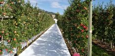 Ambrosia Apple Orchard Apple Orchard, Sidewalk, Blog, Side Walkway, Walkway, Blogging, Walkways, Pavement